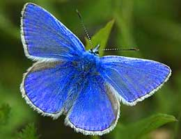 small-blue